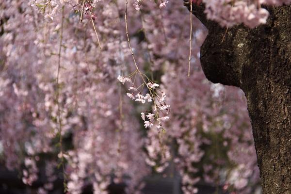 2011_04_14 宝塚ガーデンフィールズ_MG_4424