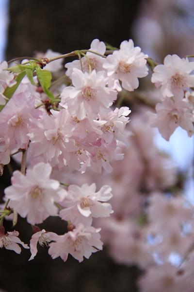 2011_04_14 宝塚ガーデンフィールズ_MG_4425