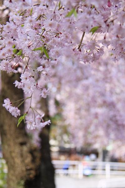 2011_04_14 宝塚ガーデンフィールズ_MG_4421