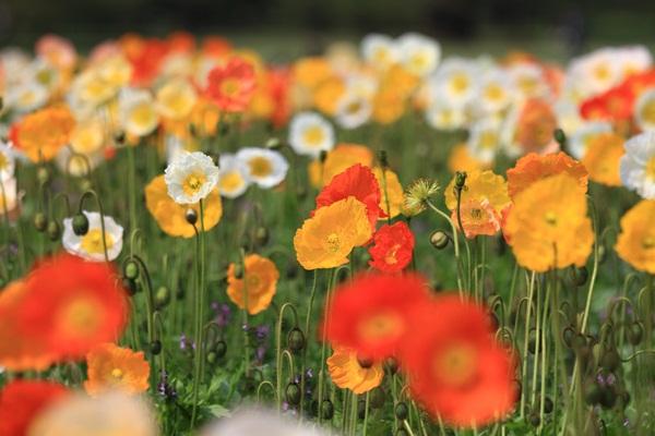 昭和記念公園 ブログサイズ2011_04_25 昭和記念公園 アルバムDPP_0152