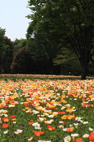 昭和記念公園 ブログサイズ2011_04_25 昭和記念公園 アルバムDPP_0015