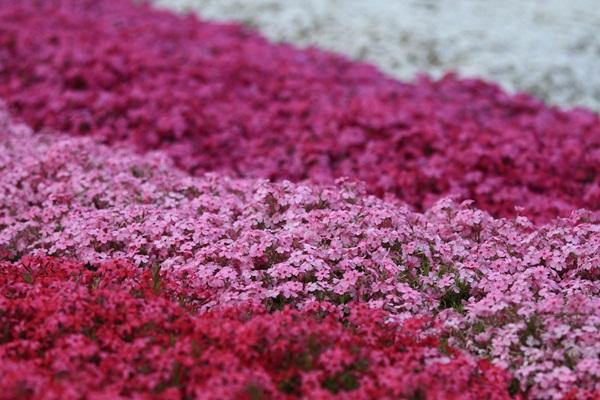 昭和記念公園 ブログサイズ2011_04_25 昭和記念公園 アルバムDPP_0035
