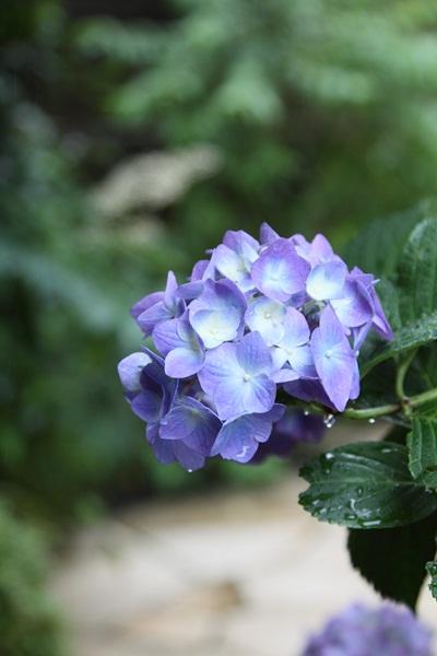 2010年 紫陽花庭_MG_8359