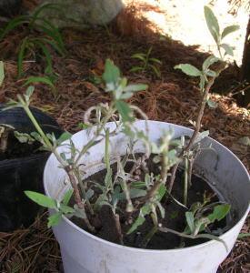 garden-挿し木ブットレア