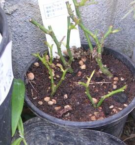 garden-挿し木ミニバラ