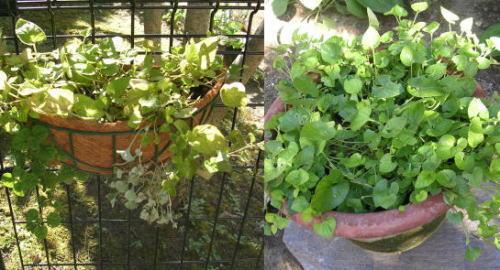 garden-ニオイスミレ