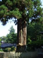 8/3 浅間神社 ご神木の夫婦桧