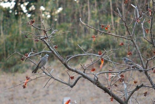ヒヨドリ 柿の木