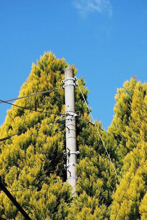 110305 電柱の木