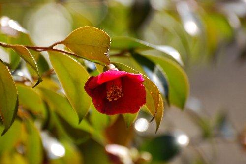 110307 寒咲藪椿