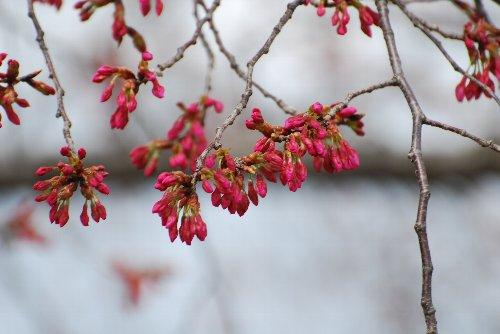 110324 桜