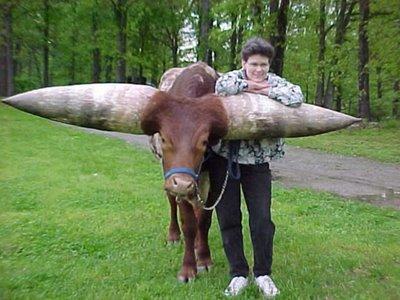 bull1.jpeg
