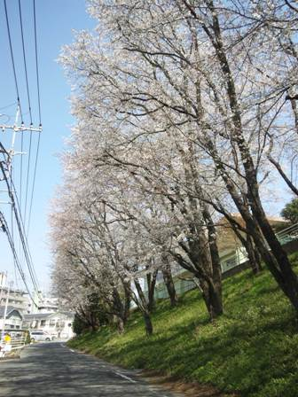 cherryblossoms2