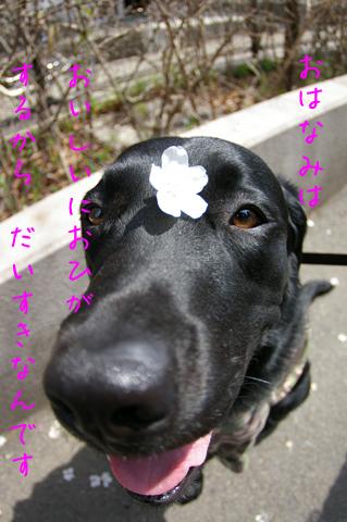 ゼロ鼻桜のコピー