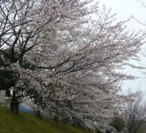 近所の桜並木♪