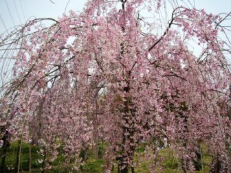 近隣市の公園のしだれ桜♪