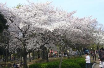 近隣市の公園の桜2
