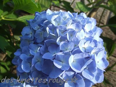 紫陽花-7