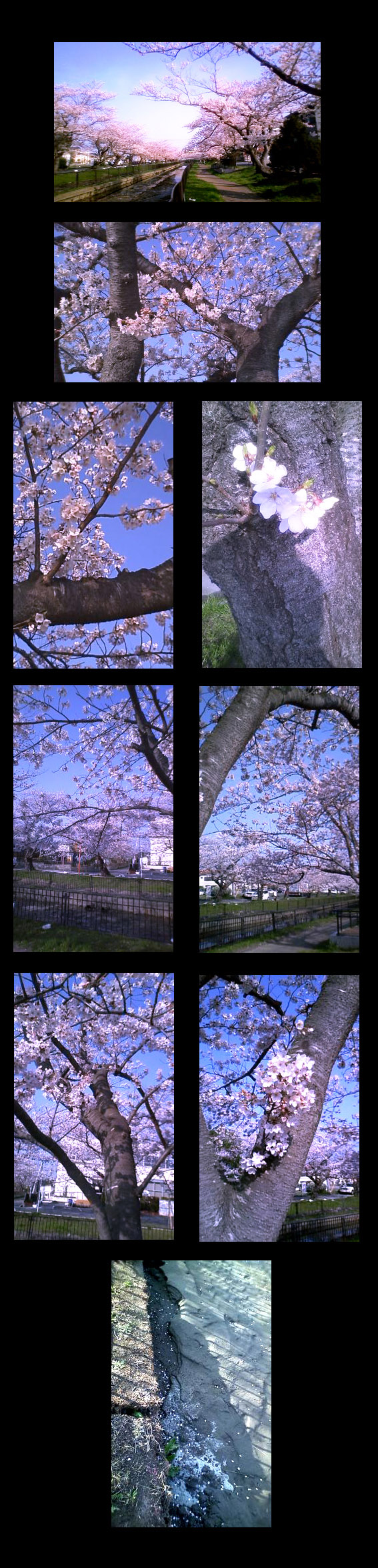 20110410-桜