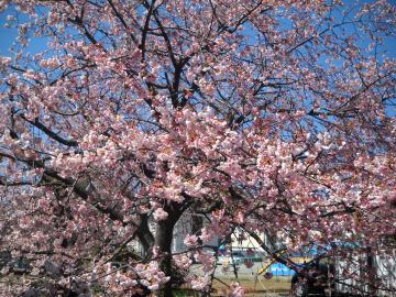 ファミリアの桜1