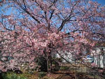 ファミリアの桜2