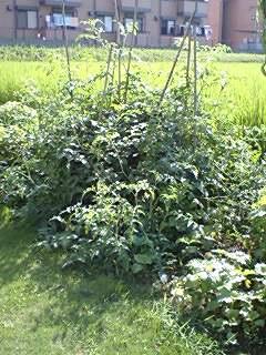 トマトの森