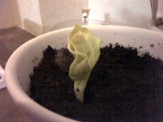 バオバブの芽
