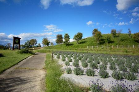 ラベンダーの丘