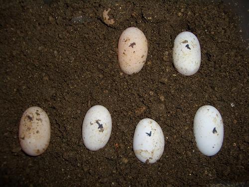 トウブハコ03KA産卵