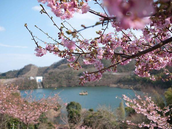 奥野ダム 河津桜002