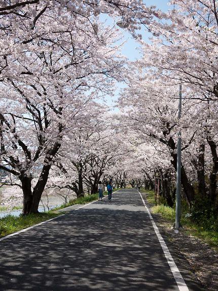 藤枝 瀬戸川の桜01