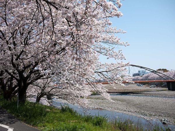 藤枝 瀬戸川の桜03