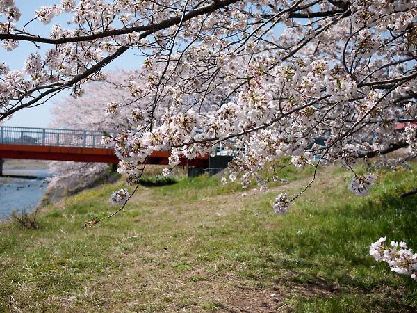 藤枝 瀬戸川の桜04