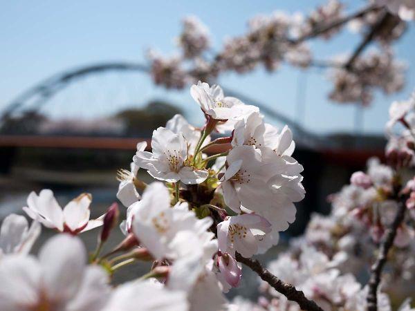 藤枝 瀬戸川の桜05