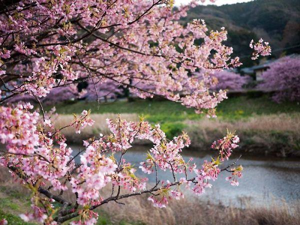 下賀茂の河津桜と菜の花