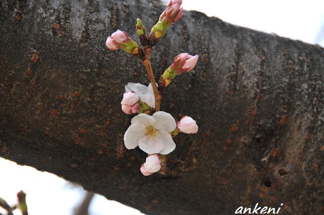 110402 012  桜