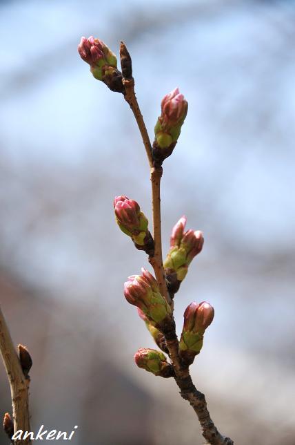 110402 036  桜