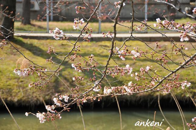 110402 042  桜