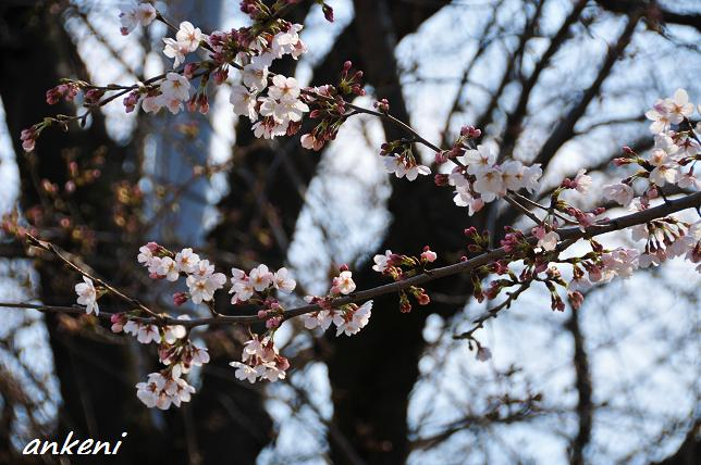 110402 055  桜