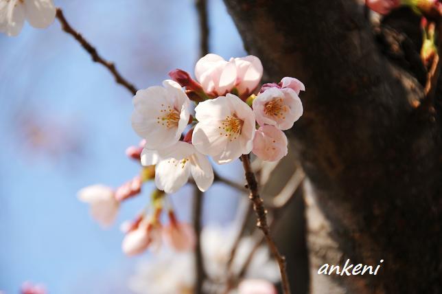 110402 059  桜