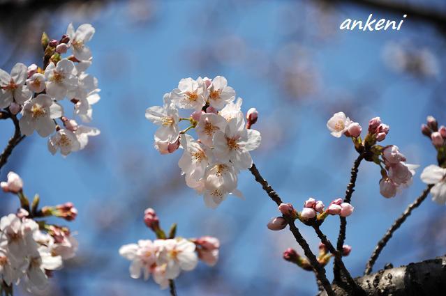 2011.0406 042  桜