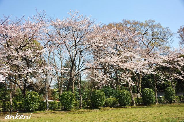 2011.0406 073  桜