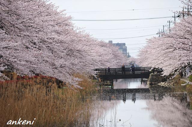 2011.04.11 023  桜