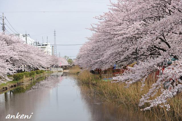 2011.04.11 060  桜