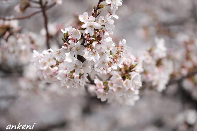 2011.04.11 070  桜