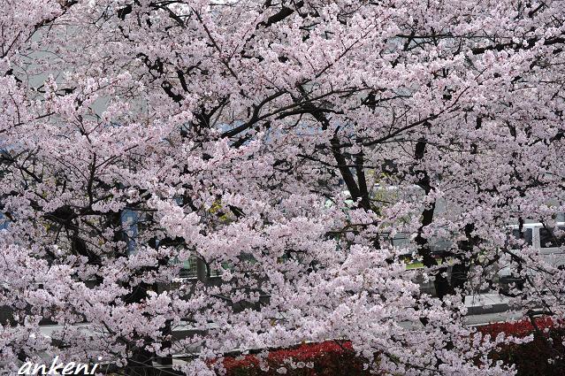 2011.04.11 092  桜