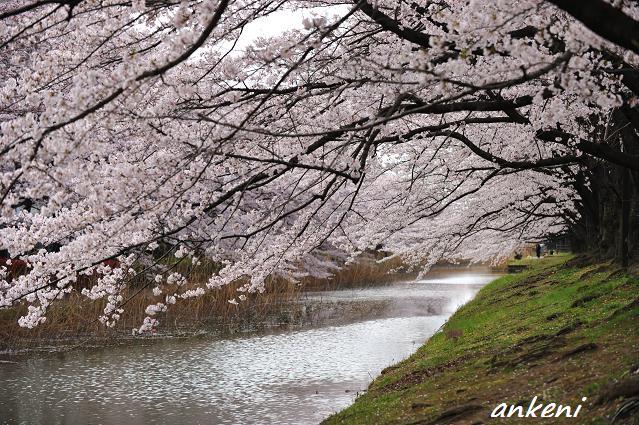 2011.04.11 097  桜