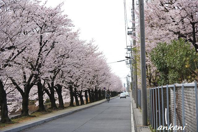 2011.04.11 098  桜