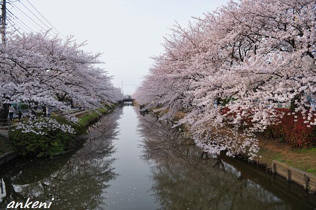 2011.04.11 123  桜