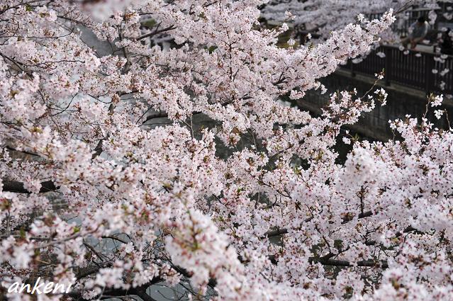 2011.04.11 154  桜
